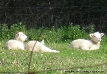 Ovejas durmiendo en el campo